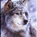 idtimberwolf