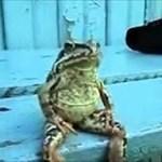 Bullfrogs56