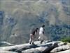 btrodrigues e lynx pardinus caminhando na bordinha