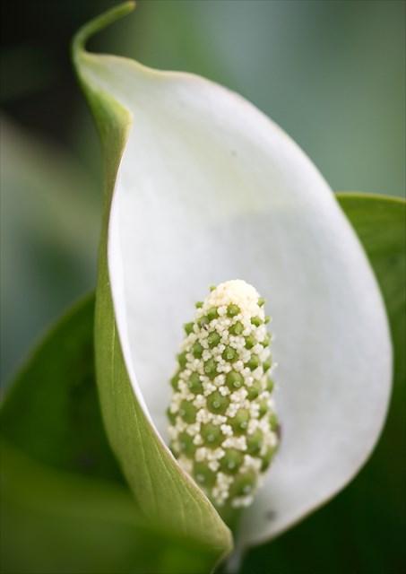 květ ďáblíku