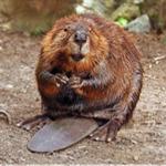 beaverfoot