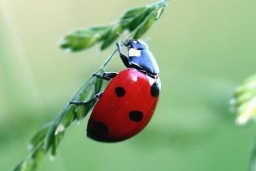 käfer schwarz mit roten punkten