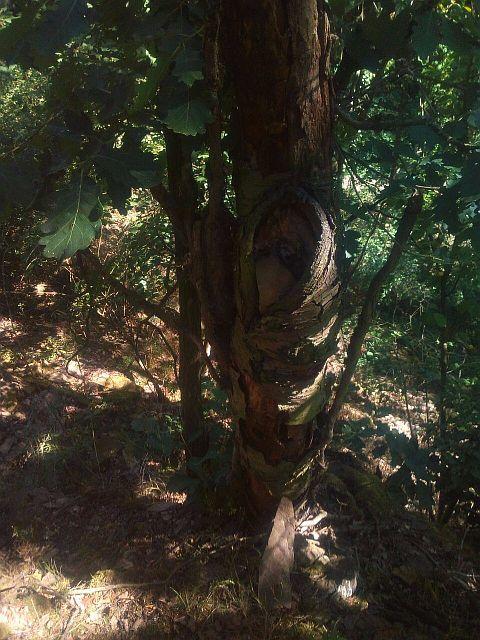 gesuchter Steinbaum