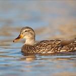 Duckopolis