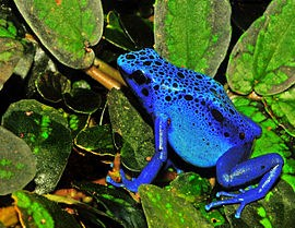 Blauwe Gifkikker