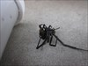 Black widow spider at GZ... Careful folks!