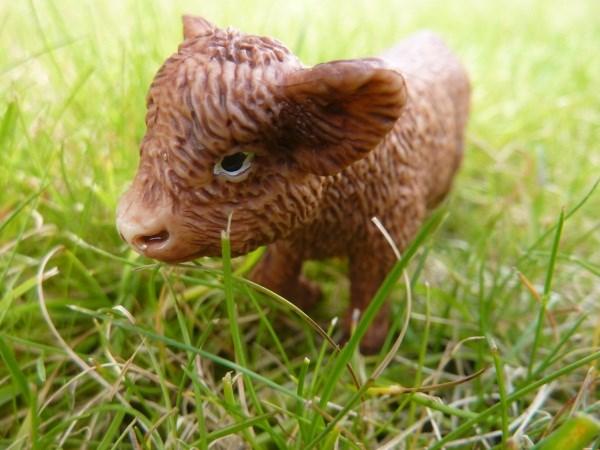 Baby highland cow - photo#18