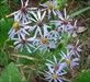 Cool little asters along the trail log image