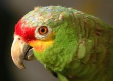 Amazoňan rudočelý (Amazona autumnalis)