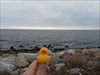 duckie6 The ocean outside Visby, Gotland