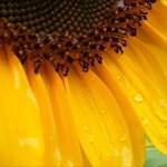 yellow_sunflowers