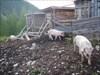 Sommergäste bei der Dümler Hütte