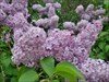 Lovely smelling Lilacs in bloom!   :D
