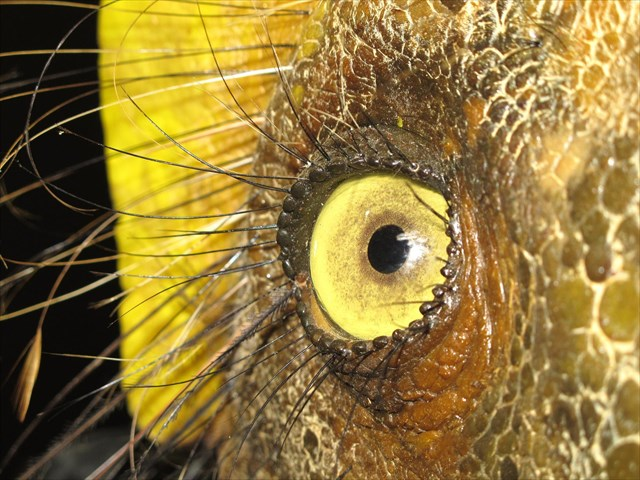 Oko liliensterna (fot.M.Szubert)