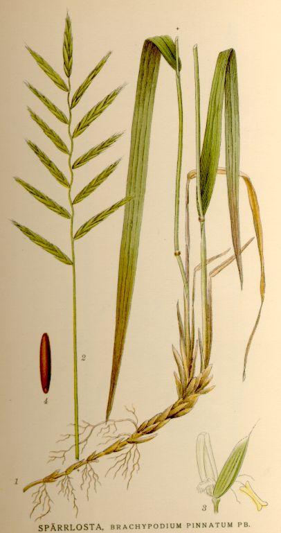 Brachypodium pinnatum. Illustration by Carl Axel Magnus Lindman, c 1920.