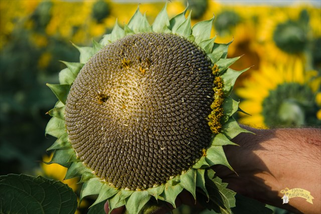 4469a25ac Unlike corn and other crops, very little pollination is accomplished by  wind. Sunflower pollen is heavy and sticks and most of it ends up on the  leaves of ...