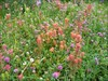 Indian Paintbrushes and Clover