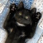 black-tomcat