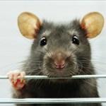 kirian_rat