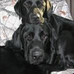 goodblackdogs