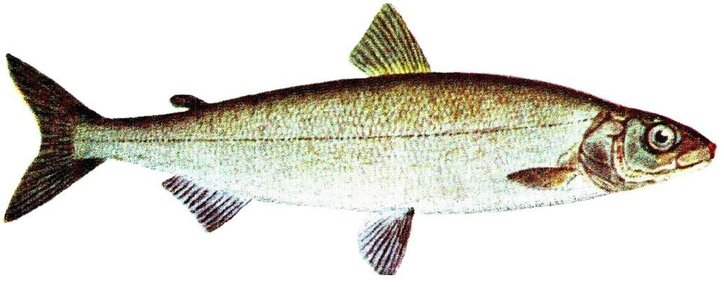 Fisch6