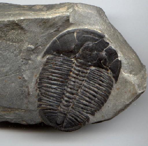 447f4909 e47b 450b bf10 390b64836bff [SP] Đá cảnh Fossils đẹp   CFO02