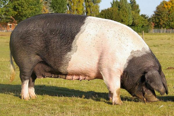 Hog's Back