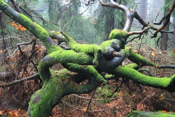 Zamotany strom