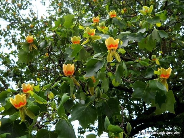 Gc6r5w1 tulip tree traditional cache in new york united states fall tree flower flowers mightylinksfo