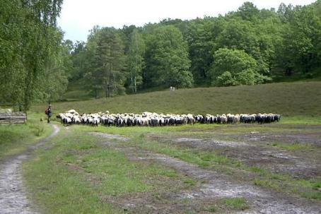 Bild: Schafe in der Heide