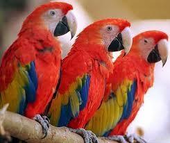 Попугаи птенцы. взрослые птицы, ручные, говорящие.