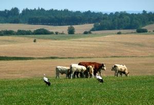 Krávy a čápi