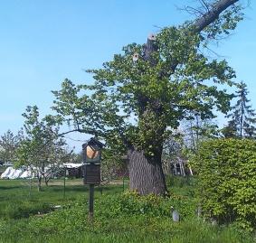 Památný strom - Lípa malolistá