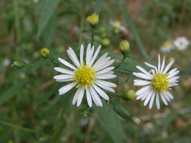 Gc6t2dz small white aster traditional cache in new york united gz plant two flowers mightylinksfo