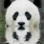 covert panda