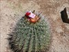 Magical Big Nose with barrel cactus flowers