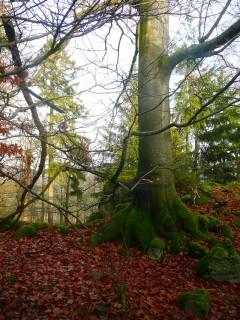 Podzimní buk