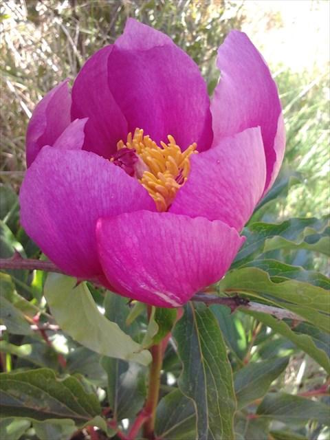 Rosa Albardeira