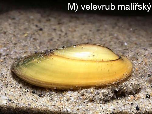 M) velerub malírský