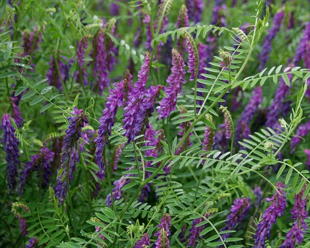 Image result for purple cow vetch