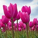 tulip1952