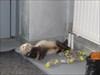 My little 'drunk' ferret Freddy