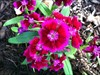 Scratch Dianthus log image
