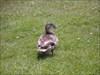 Pato Arrumador