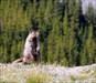 Marmot on sentinel duty