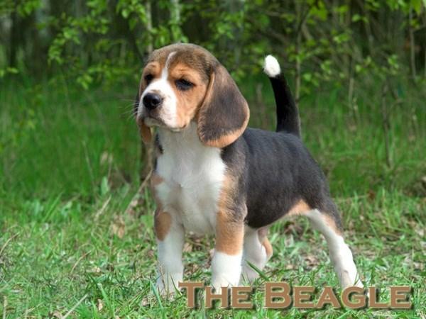 Beagle hunting fox - photo#3