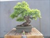 National Arboretum some of this Bonsai were started in the 1600's!