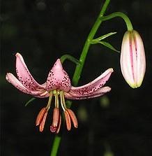 Lilie zlatohlavek