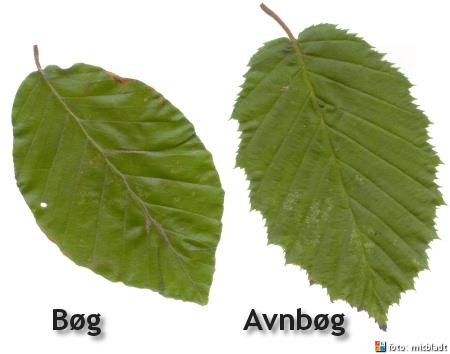Forskel på bøg og avnbøg