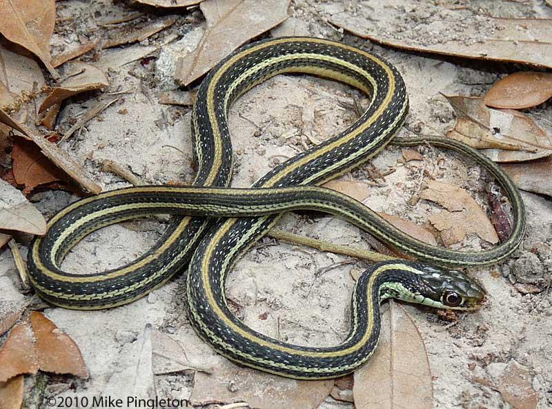GC51ERZ 12-Snake Series-Gulf Coast Ribbon Snake (Traditional